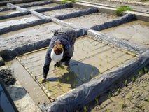 工作妇女米领域穆斯林 回教女工在有hijab的米农场工作在伊朗,gilan 免版税库存图片