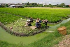 工作对保留的Thail花匠芹菜农业种植 库存图片