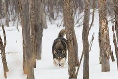 工作木材的北美灰狼 免版税库存图片
