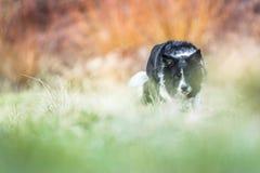工作犬-黑白博德牧羊犬-在绿色草甸和橙色背景 免版税库存图片