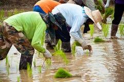 工作的农夫种植在稻田的米 免版税库存图片