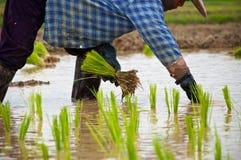 工作的农夫种植在稻田的米 库存图片