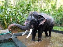 工作的大象,喀拉拉,印度 免版税库存照片