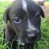 工作的小狗 免版税库存图片