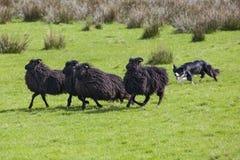工作的护羊狗 图库摄影
