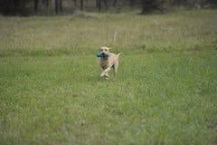工作的拉布拉多猎犬 免版税库存照片