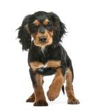 工作的猎犬, 10个星期年纪 免版税库存图片