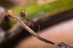 工作的蚂蚁 免版税库存照片