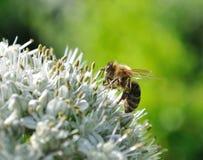 工作的蜂和开花的葱 免版税库存照片