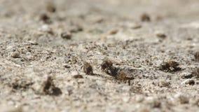 工作的蜂消耗从土壤的矿物 影视素材