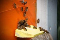 工作的蜂画象  图库摄影