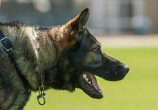 工作的警犬 免版税库存照片