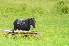 工作的马在草甸 库存照片