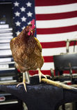 工作的鸡 免版税图库摄影