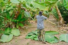 工作者切开香蕉叶子 免版税库存图片