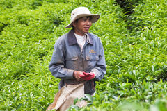 工作者在茶园的采撷茶叶。DA拉特,  免版税图库摄影