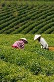 工作者在茶plantation.DA拉特, V的采撷茶叶 图库摄影