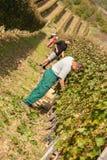 工作者在葡萄园里 库存照片
