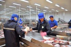 工作者在转移他们前杀害pangasius鲶鱼到下条生产流水线在湄公河三角洲的海鲜工厂 免版税图库摄影