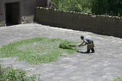 工作者干燥古柯叶子用在古柯的一个传统方式在Chulumani把集中处留在 Sud Yungas, Bo 图库摄影