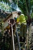 工作者抓住谷仓猫头鹰& x28小鸡; Tyto alba& x29;从人口调查的孵化箱子 免版税库存照片