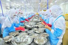 工作者是剥和处理新鲜的未加工的虾在海鲜工厂在越南 免版税库存照片