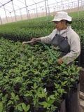 工作者灌溉橙色幼木 免版税库存图片