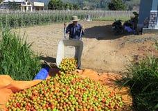 工作者自透明聚碳酸酯纤维温室收获蕃茄 免版税库存照片