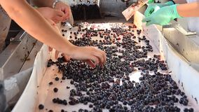 工作者葡萄为葡萄酒酿造做准备 股票视频