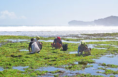 工作者蹲收集海草的一个小组将被做成访客的被油炸的快餐 库存图片