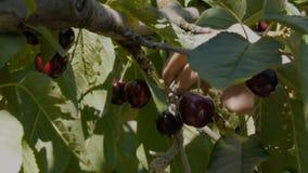 工作者采摘从树的新鲜的樱桃 影视素材