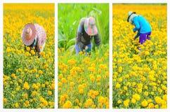 工作者采摘出售的万寿菊花开花市场 免版税图库摄影