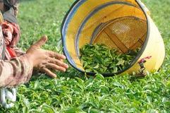工作者采摘和击碎茶叶在茶园 免版税库存图片