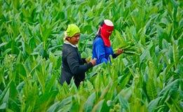 工作者havest烟草叶子在泰国 库存照片