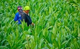 工作者havest烟草叶子在泰国 免版税库存图片