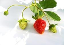 工厂草莓 免版税库存图片