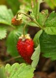 工厂草莓 免版税库存照片