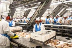 工厂鸡 免版税库存图片
