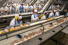 工厂鸡 免版税库存照片
