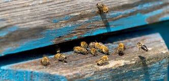 工蜂生活  蜂带来蜂蜜 免版税库存图片