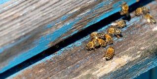工蜂生活  蜂带来蜂蜜 库存图片