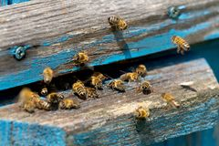 工蜂生活  蜂带来蜂蜜 免版税库存照片