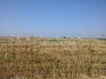 左站立在收获以后的大麦行 图库摄影