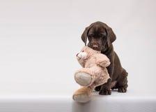 巧克力与玩具熊的拉布拉多猎犬小狗 免版税库存照片