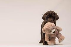 巧克力与玩具熊的拉布拉多猎犬小狗 免版税图库摄影
