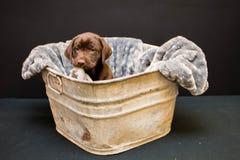 巧克力在一个古色古香的木盆的拉布拉多猎犬小狗 免版税库存图片
