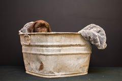巧克力在一个古色古香的木盆的拉布拉多猎犬小狗 免版税库存照片