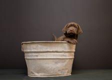 巧克力在一个古色古香的木盆的拉布拉多猎犬小狗 库存图片