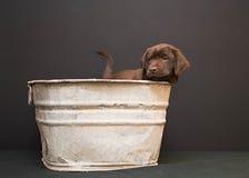 巧克力在一个古色古香的木盆的拉布拉多猎犬小狗 库存照片
