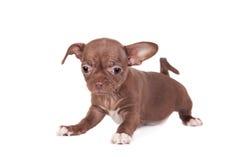 巧克力在白色的奇瓦瓦狗小狗 免版税图库摄影